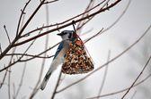 Blue Jay (Cyanocitta cristata) — Stok fotoğraf