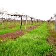 Private Vineyard in early spring season — Stock Photo #46005165