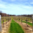 Rows and rows of grapevines in early spring. — Stock Photo #46005215