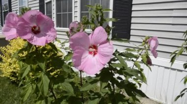 Hibiscus Flowers blowing in the breeze on a sunny summer day — Stock Video