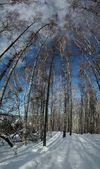 Winter birches and blue sky — 图库照片