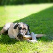 Boerboel dog lying on grass — Stock Photo #30907569