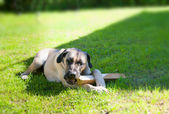 Boerboel dog lying on the grass — Stock Photo