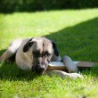 Boerboel dog lying on grass — Stock Photo #30936207