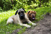 Two dogs on the grass — Stock Photo