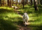 коза группы — Стоковое фото