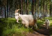 Goat group — Foto Stock