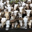 Stock Photo: Buffalo skull