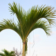 Nipa Palm 2 — Stock Photo