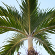 Nipa Palm  — Stock Photo