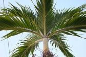 Nipa Palm — Stock Photo