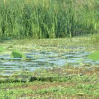 Stock Video: Swamp water with green reed