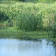 Swamp water with green reed — Stock Video