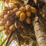Постер, плакат: Coconuts