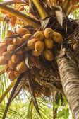 Noci di cocco. — Foto Stock