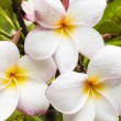 Three Plumeria — Stock Photo