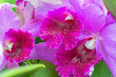 Cattleya Orchid — Stock Photo