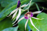Encyclia Green Hornet Orchid — Stock Photo