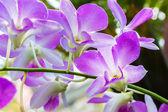 Dendrobium Orchid — Stock Photo