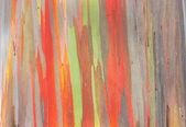 Eucalipto arco-íris — Fotografia Stock
