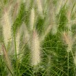 Hairy grass — Stock Photo #15310329