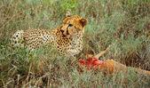 Cheetah — Stockfoto