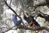 Olive pickers — Stock Photo