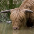 Scottish Highlander — Stock Photo