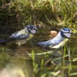 Blue tits take a bath — Stock Photo