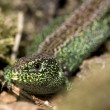 Sand lizard — Stock Photo #15384595