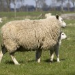 Sheep at Dwingeloo — Stock Photo #15888603