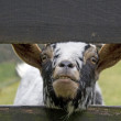 Goat crosses its head through fence — Stock Photo #15889567