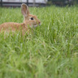 Feral domesticated rabbit — Stock Photo