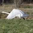 On flying mute swan, Netherlands — Stock Photo #16909501