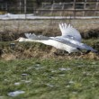 On flying mute swan, Netherlands — Stock Photo #16909527