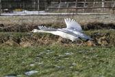 En vuelo cisne mudo, países bajos — Stok fotoğraf