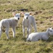 Lambs in meadow in Drenthe, Netherlands — Stock Photo #16910585