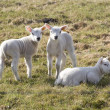 Lambs in the meadow in Drenthe, Netherlands — Stock Photo