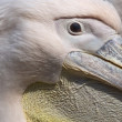Royalty-Free Stock Photo: Portrait of a pelican in a zoo in the Netherlands