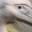 Portrait of a pelican in a zoo in the Netherlands — Stock Photo