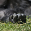 Hand of a resting gorilla in a zoo in the Netherlands — Stock Photo