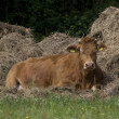 Jersey cattle lies with hay bales, Netherlands — Stock Photo