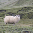 Icelandic sheep, Iceland — Stock Photo