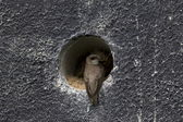 Sand Martin for the entrance of his nest, Netherlands — Stock Photo