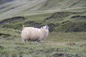 冰岛羊、 冰岛 — 图库照片