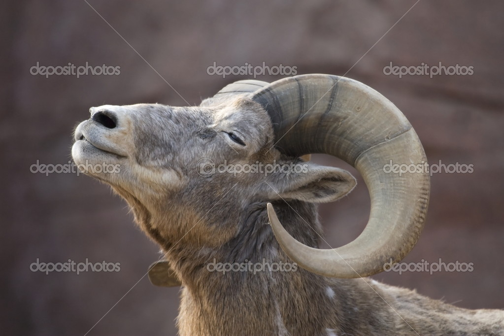 Portrait of a bighorn sheep in a zoo in the Netherlands — Stock Photo #16911913