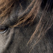 Stock Photo: Icelandic horse, Iceland