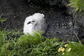 Young fulmars in a nest on the cliff, Iceland — Stock Photo