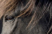 Icelandic horse, Iceland — Stock Photo