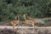 Young deer in the quarrel, Netherlands — Stock Photo